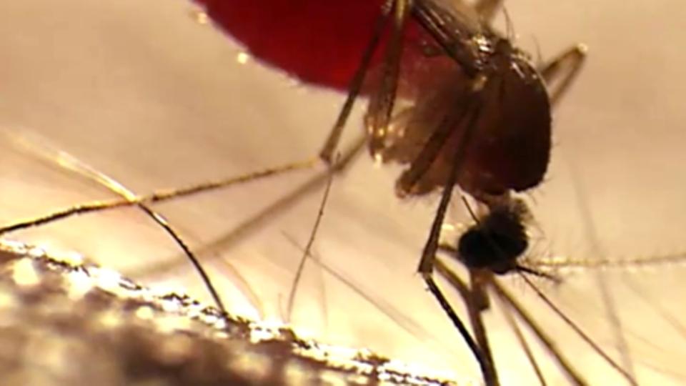 Bei Mückenstichen versprechen diese Pflanzen Linderung