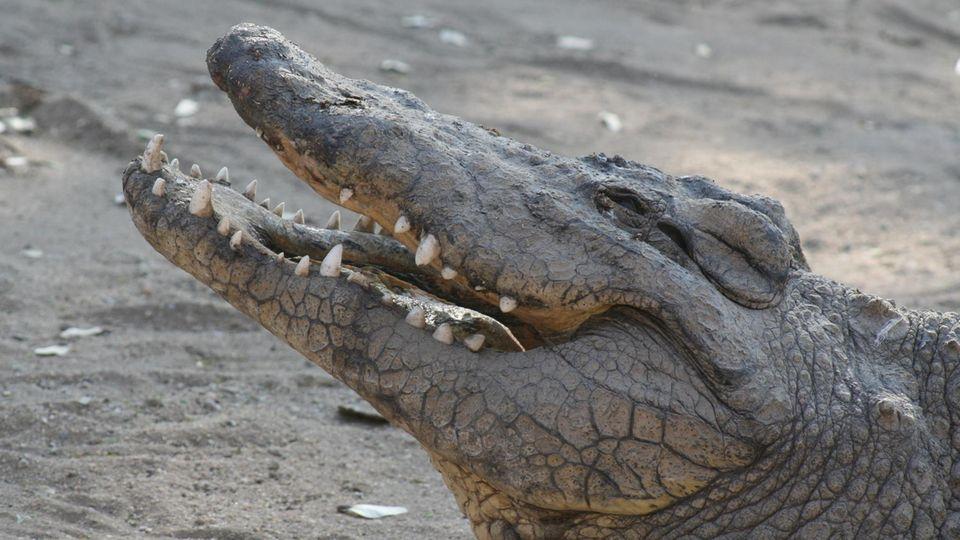 Einem Krokodil wie diesem möchte man nicht begegnen, wenn es auf Drogen ist ...