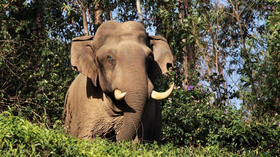 Ein wilder Elefant (Symbolbild)