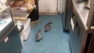 Zwei Zwergpinguine habenin einer Sushi-Bar in Neuseeland Quartier bezogen