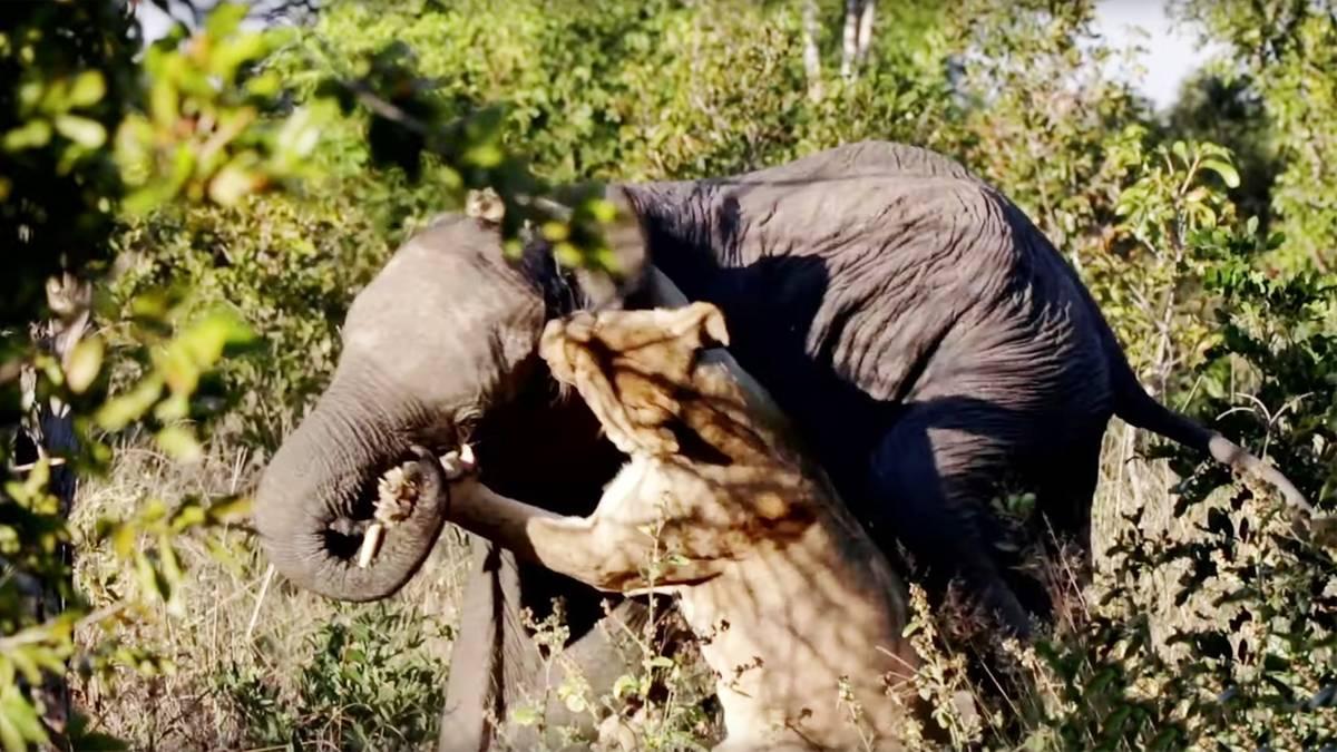 Kampf um Leben und Tod: Löwin verbeißt sich in jungen Elefanten – doch der Dickhäuter gibt nicht auf