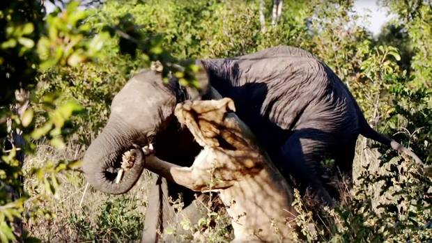 Simbabwe: Löwin attackiert Elefanten – Safari-Teilnehmer erleben Kampf um Leben und Tod