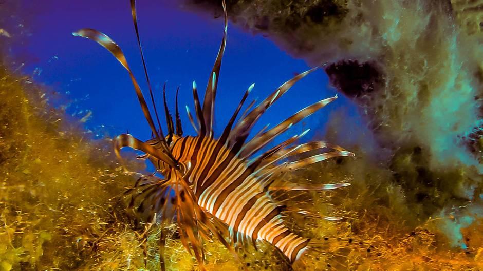 Mittelmeer: Giftige Feuerfische breiten sich rasant aus – Invasion soll clever gestoppt werden