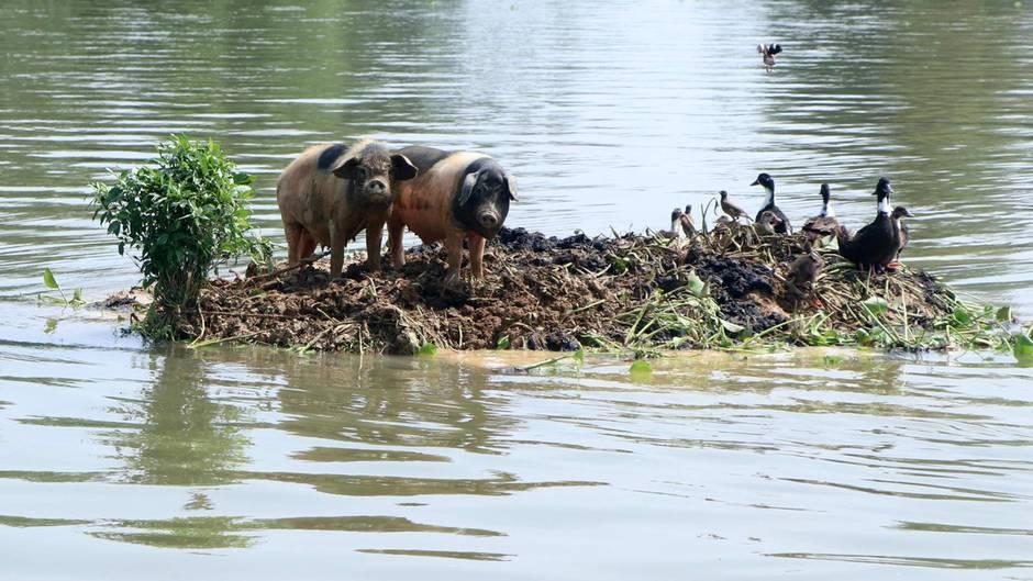 Kamrup, Indien: Diese Enten und Schweine konnten sich bei den schweren Regenfällen in der Region Assam vor den Wassermassen retten. Dort forderte der Monsun in den vergangenen Tagen bereits mehr als 250 Menschenleben.