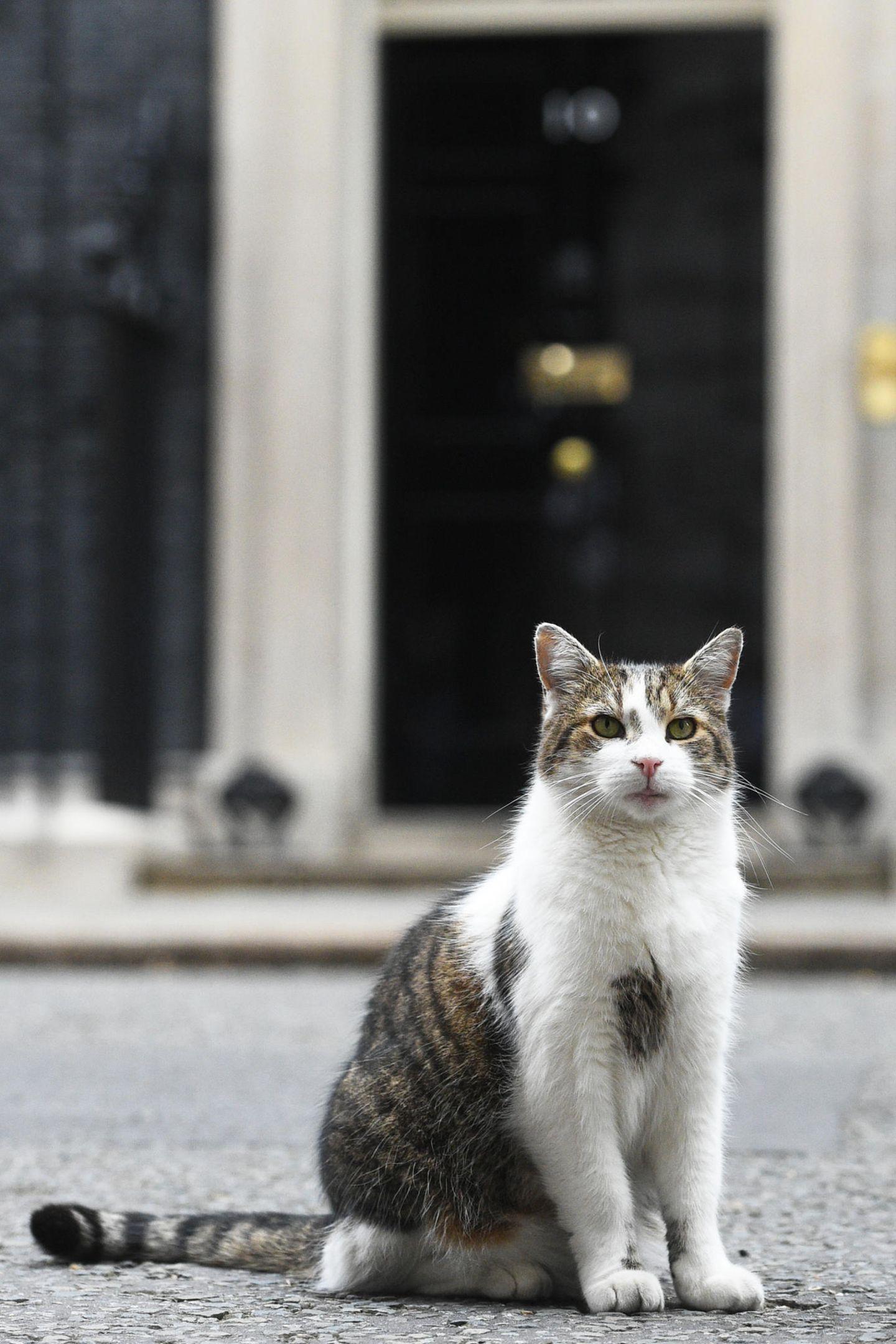 Larry, der Kater von Downing Street Nr. 10. In Europa ist die Amputation von Krallen bei Katzen größtenteils verboten.