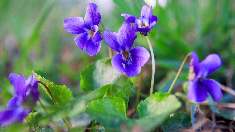 Blühende Veilchen