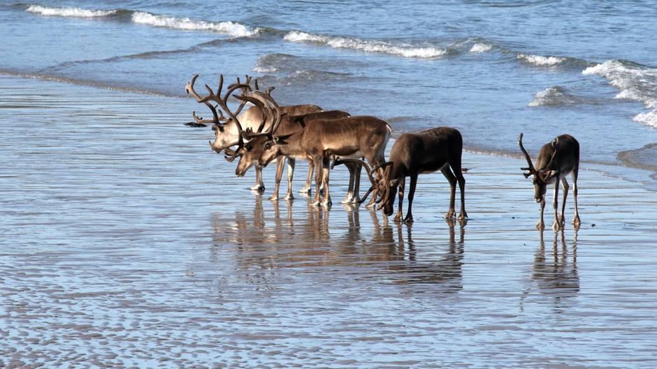 Eine Gruppe Rentiere an einem Strand (Archivfoto)
