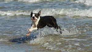Ein Boston Terrier läuft am Strand (Symbolfoto)