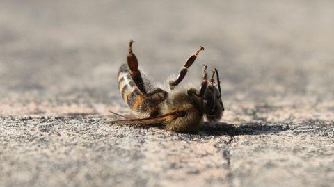 Verbotene Pestizide: Eine tote Biene liegt auf dem Boden