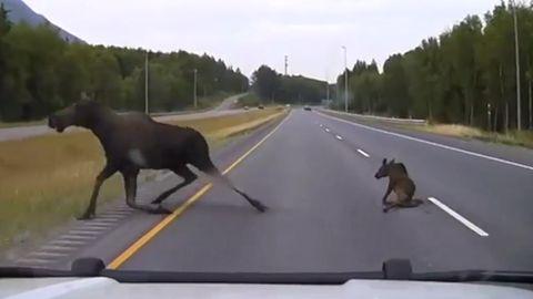 Anchorage, Alaska: Eine Kollision mit einer Elch-Mama und ihrem Kalb kann in letzter Sekunde verhindert werden.