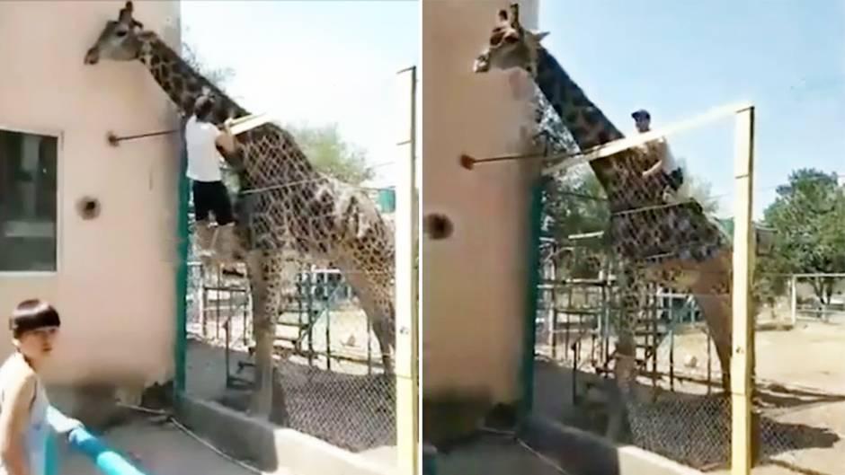 Kasachstan: Betrunkener reitet Giraffe im Zoo