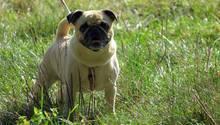 Ein Hundezüchter wollte dieHoden-Untersuchung eines Mopses vor Gericht erzwingen. (Symbolbild)