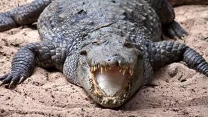 Krokodil - OP-Platte aus der Schweiz in Krokodil-Magen in Australien