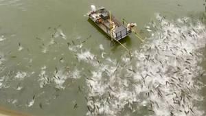 Elektroschock-Boote: Mit dieser rabiaten Methode wird die Karpfen-Invasion in den USA bekämpft