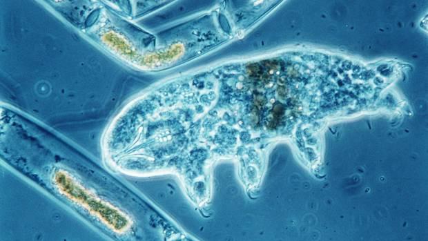 Ein Bärtierchen (Tardigrada) unter dem Mikroskop
