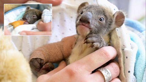 Koala-Baby in Not: Pfleger aus dem Victoria Zoo bei Melbourne kümmern sich hingebungsvoll um das hilflose Tier.