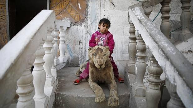 Ein Kind sitzt auf einem mumifizierten Löwen, er wurde bei einem Raketenangriff getötet