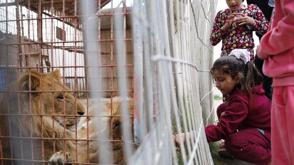 Ein Kind will die Löwen füttern. Der Zustand der Käfige ist nicht nur gefährlich für die Tiere.