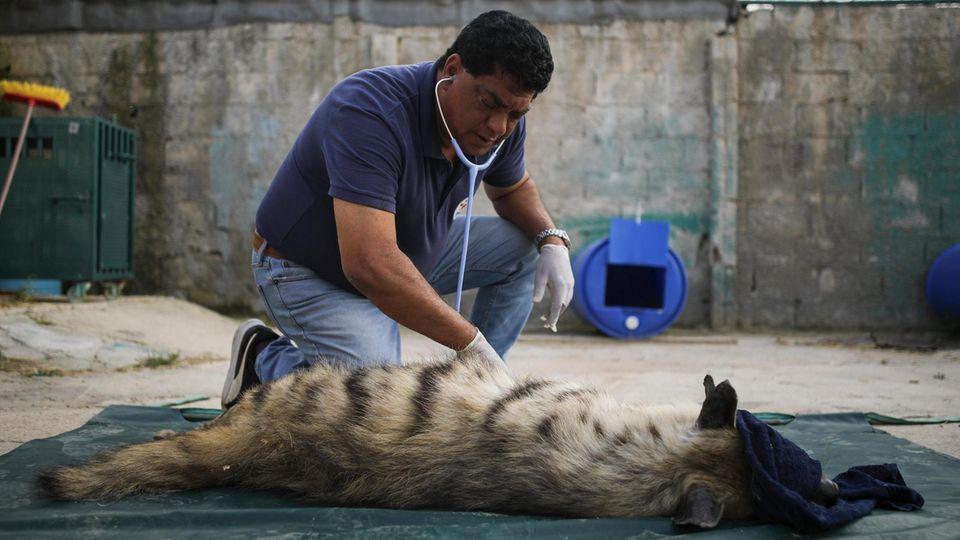 Dieser Hyäne geht es sehr schlecht. Nach der Untersuchung gibt Dr. Khalil ihr Infusionen