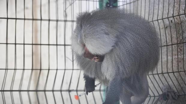Wütender Pavian mit Betäubungspfeil