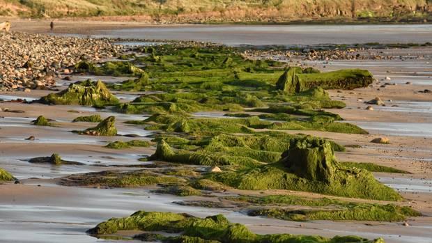 2016 spülte die Nordsee in der englischen Grafschaft Northumberland einen uralten Doggerland-Wald frei. Die Stämme waren von schützenden Torf- und Sandschichten konserviert worden.