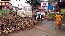 Eine riesige Gruppe Enten läuft zwischen stehenden Autos, Motorrädern und Fußgängern über eine Hauptstraße in Indien