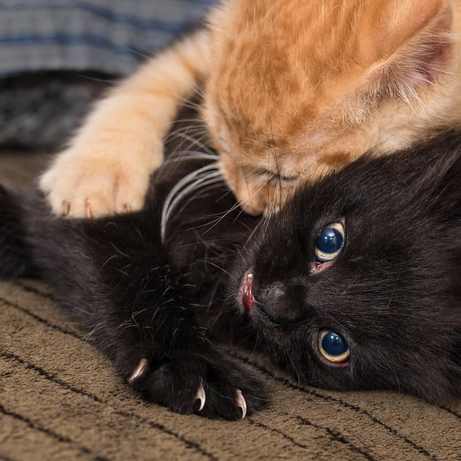 Katzenallergie: Forscher entwickeln Impfung