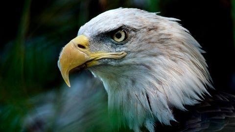 Ein Weißkopfseeadler, Wappentier der USA