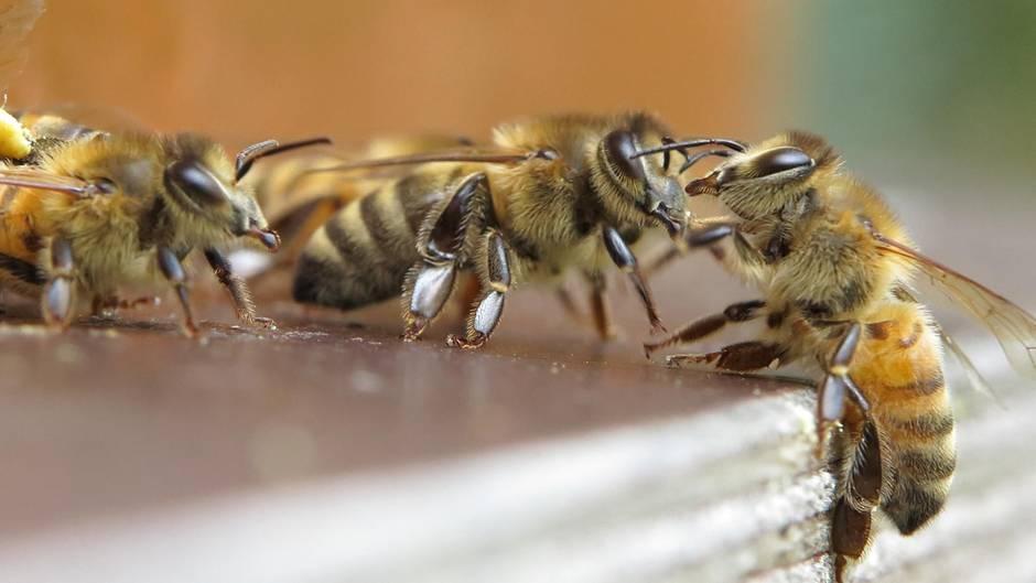 Wächterbienen am Bienenstock