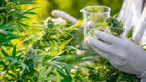 Cannabispflanze wird mit Gummihandschuhen sichergestellt