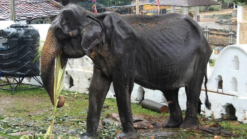 Elefant in Sri Lanka