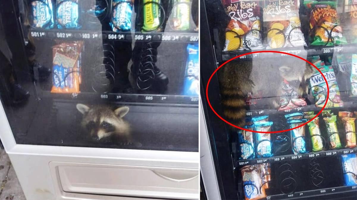 Süße Rettungsaktion: Verfressener Waschbär bleibt in Snack-Automat stecken