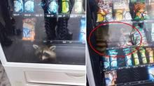 USA: Verfressener Waschbär bleibt in Snack-Automat stecken