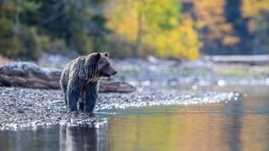 Ein Bär an einem Fluss in Kanada