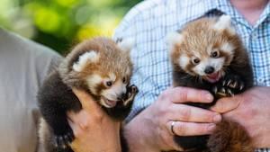 Dortmund, Deutschland:Tierpfleger halten die beiden noch namenlosen Zwillinge des Kleinen Panda (Ailurus fulgens) in den Händen. Der Zoo in Dortmund präsentiert erstmals den Nachwuchs bei den Kleinen Pandas: Seit 2004 bewohnen die Pandas die Anlage im Dortmunder Zoo. Sie gehören zu den Publikumslieblingen.