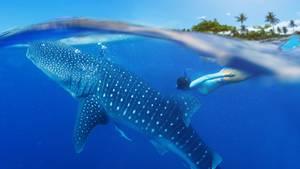 Ein Walhai schwimmt mit einem Taucher