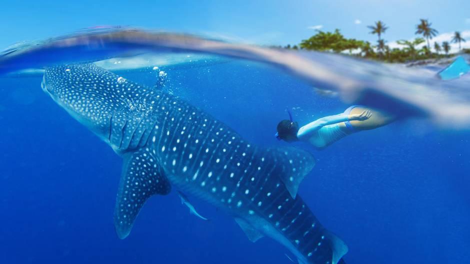 Walhai wird von zwei Touristen zum Surfen missbraucht
