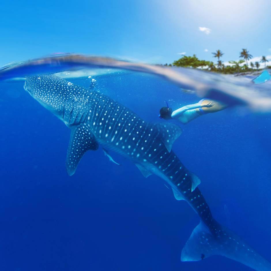 Tierquälerei: Walhai: Weltgrößter Fisch ist vom Aussterben bedroht – doch Touristen surfen auf seinem Rücken