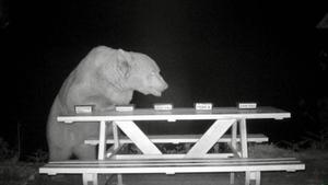 Der Bär Big Boy schnuppert am bereitgestellten Honig-Buffet