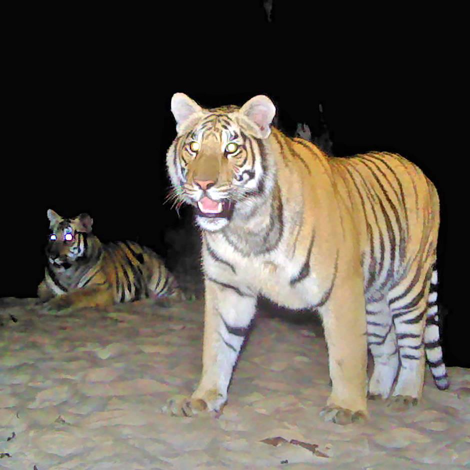 News von heute: Tiger töten zwei Personen in nepalesischem Nationalpark