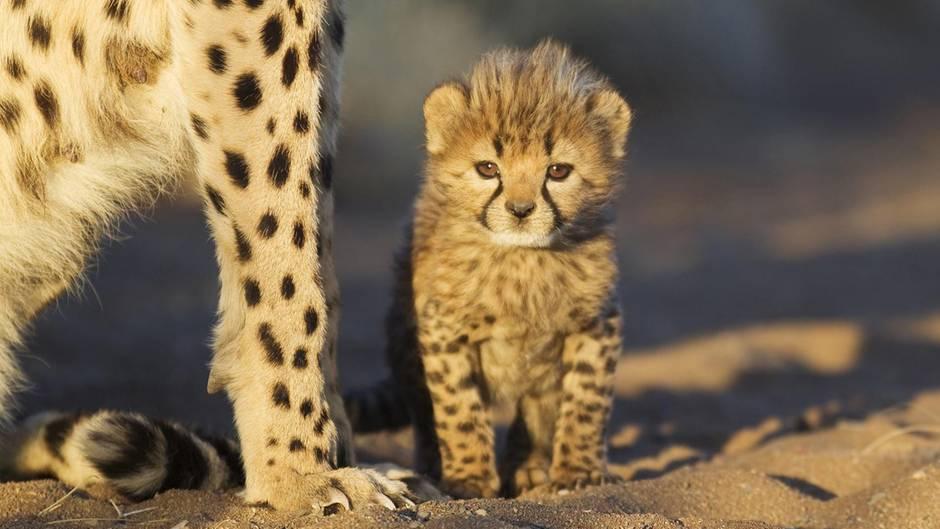Meistens werden Geparden als Jungtiere ihren Müttern entrissen und über Somaliland verschleppt
