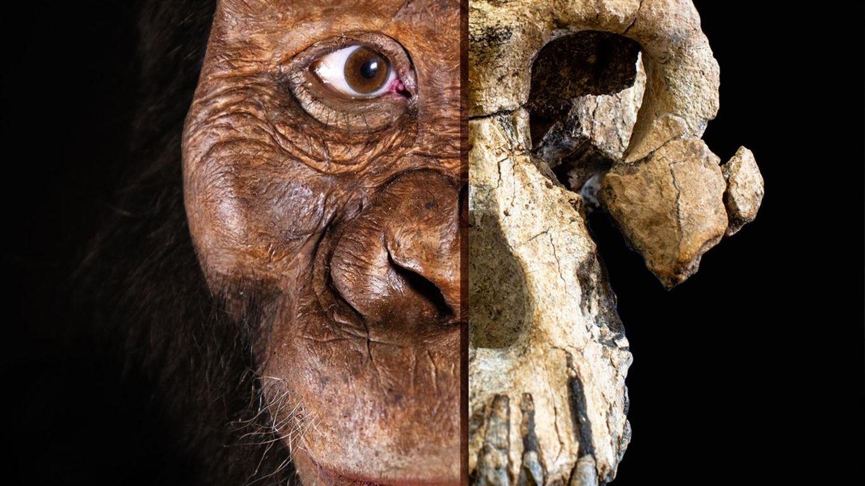 Ein Zusammenschnitt des 3,8 Millionen Jahre alten Schädels und des vermutlichen Aussehens des Vormenschen