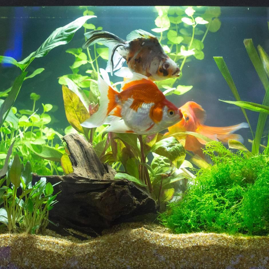 Grüner Schleier: So entfernen Sie Algen im Aquarium, ohne das Ökosystem zu (zer)stören