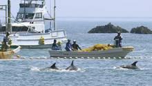 Fischer treiben kleine Wale in eine Bucht vor Taiji