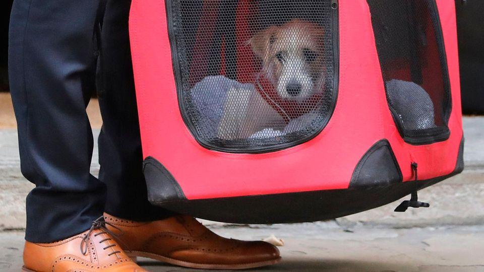 Ein Jack Russell Terrier, der neue Mitbewohner vom britischen Premierminister Boris Johnson
