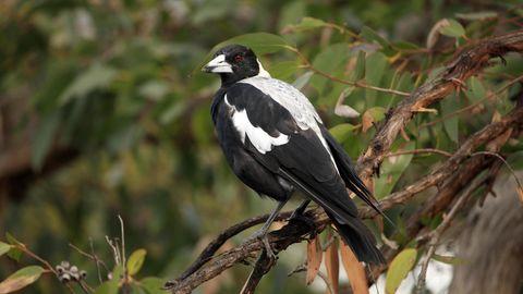 Ein Flötenvogel