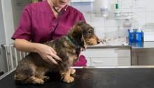 Ein Hund wird beim Tierarzt untersucht