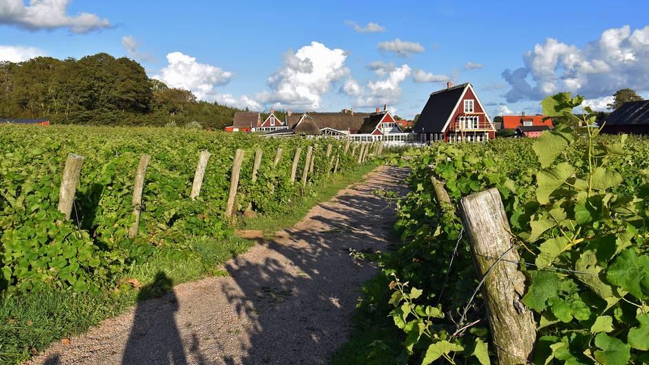 Arilds Vingård: Weinreben und Häuser