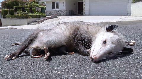 Ein Opossum liegt auf der Straße