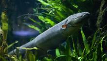 Neue Zitteraal-Arten entdeckt. Eine gibt Stöße von bis zu 860 Volt ab